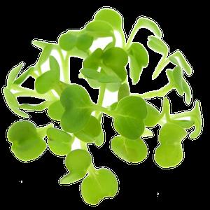 Homegrown Arugula Rucola sprouts