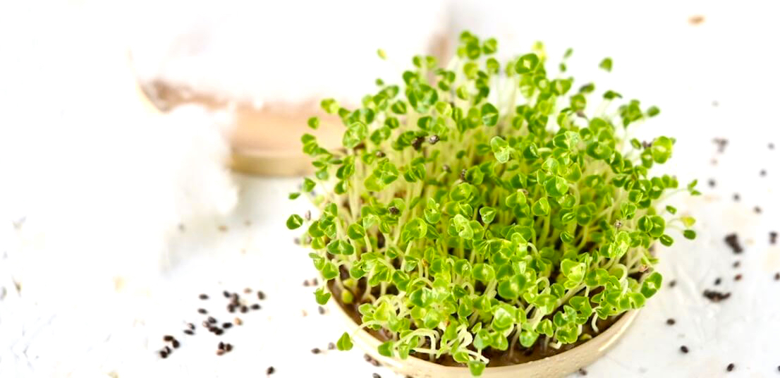 Mucilaginous seeds for sprouts FRESH SPROUTS