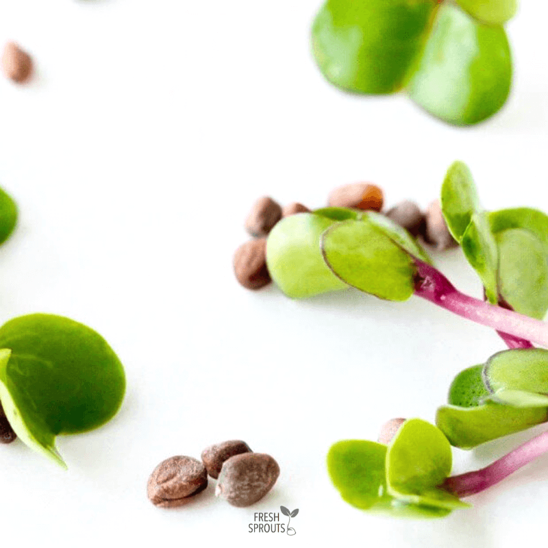 Tips for pink sprouts in food FRESH SPROUTS