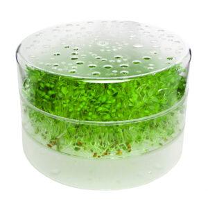 sproutpearl 1 Tablett von frischen Sprossen