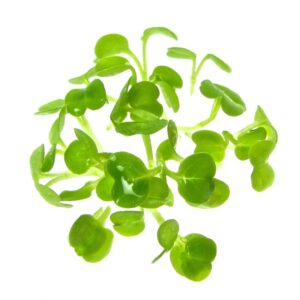 Organic rucola sprouts from certified sprouting seeds