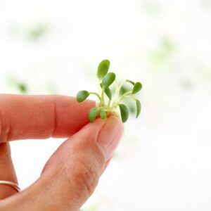 organic clover sprouts in hand