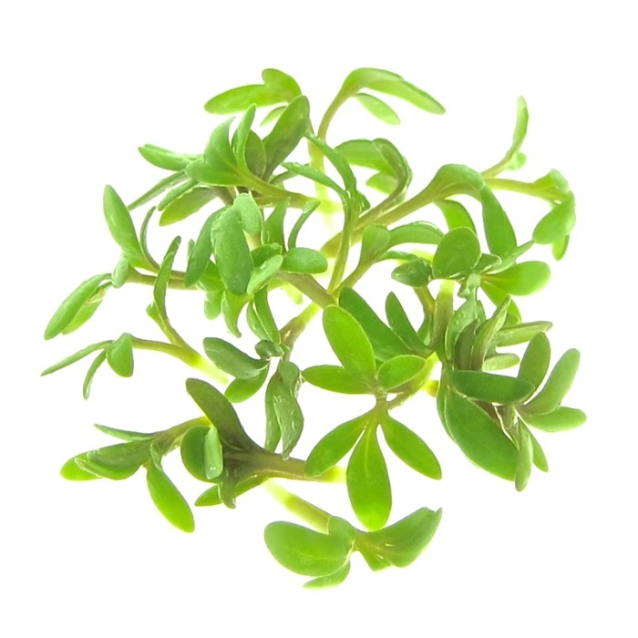 organic cress for sprouts