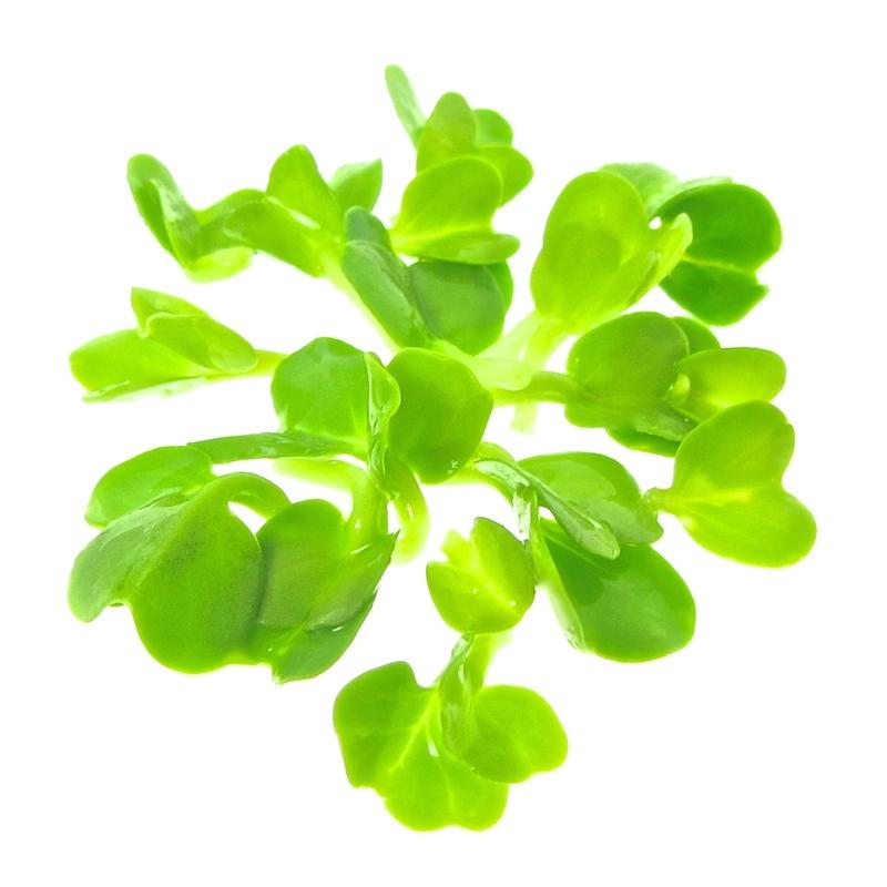 organic daikon radish for sprouts