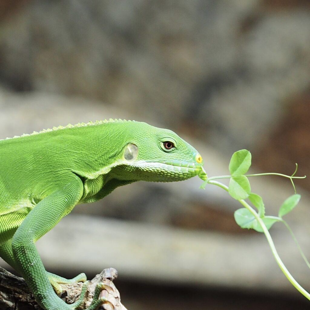 grow organic sprouts and microgreens for iguanas