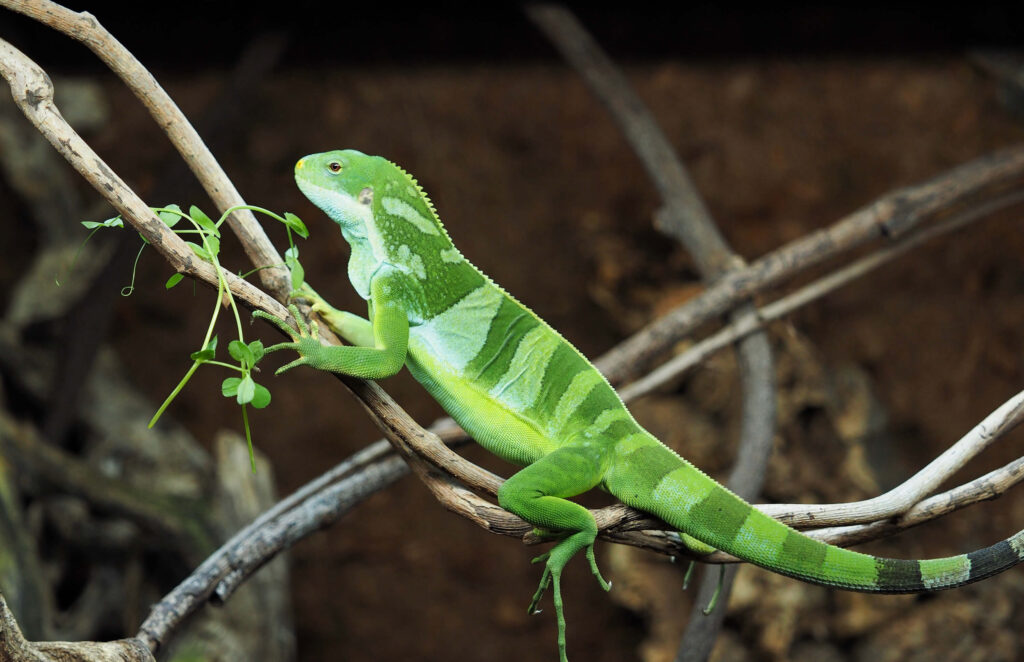 grow your own sprouts and microgreens for iguanas